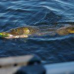Trucos para la pesca del lucio para éste 2020