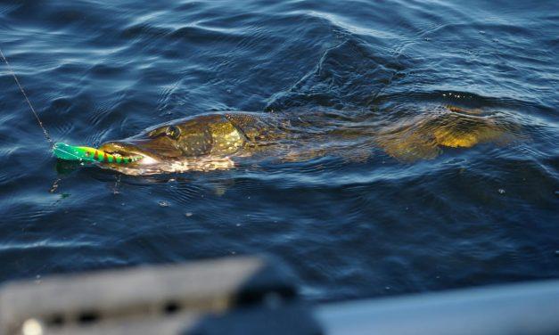 Trucos para la pesca del lucio en éste 2020