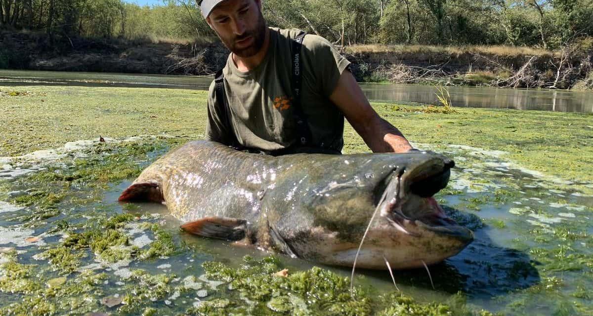 el Pez siluro y su pesca