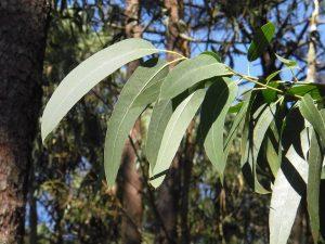 remedios caseros contra garrapatas eucalipto